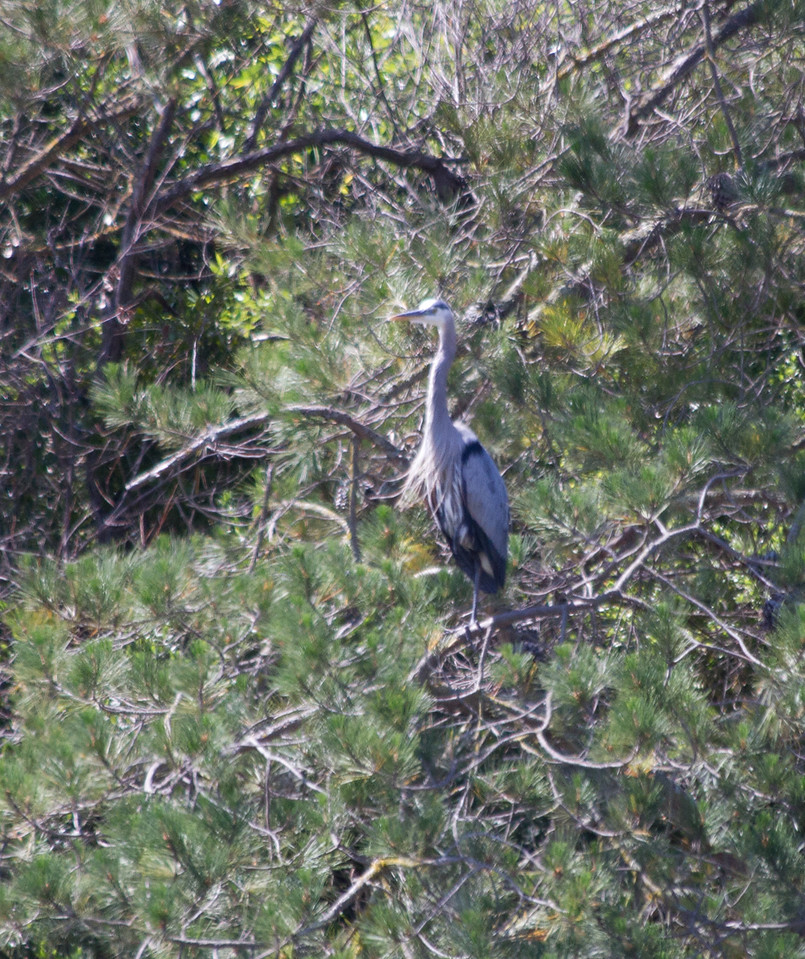 Cropped in on the great blue heron to prove that he's really there.
