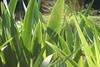 Light through iris leaves