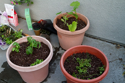After the beach, Janet and George went back to Tim and Jillian's place in San Francisco, where some patio gardening was next.  These pots contain tomato and basil, two types of squash, and a variety of herbs