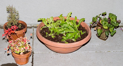A lettuce pot and some herbs completed the collection