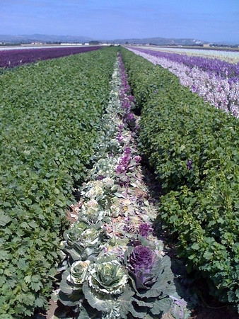 Fields of cabbages and flowers in Lompoc