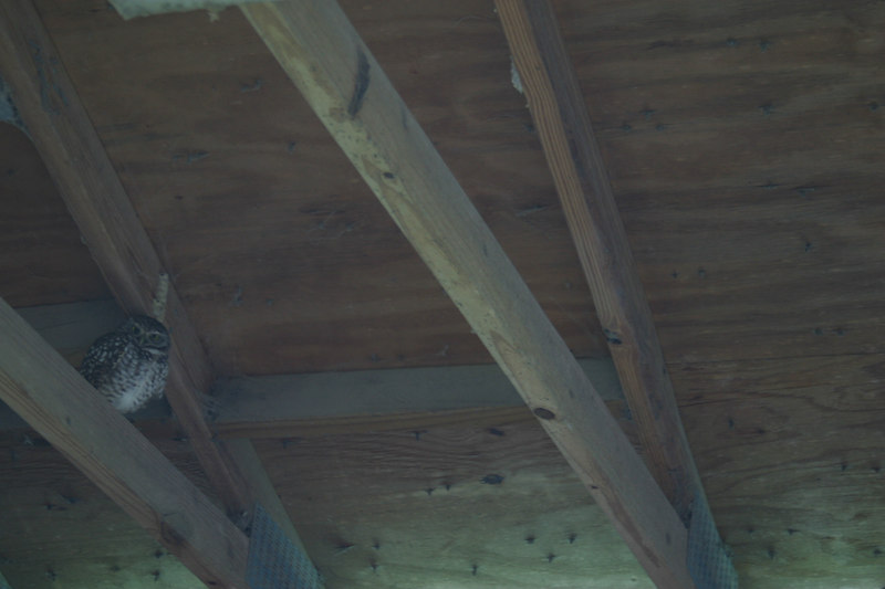 This is the owl that has taken up residence in the barn that Mr. Big is in.  The owl is in the stall across from Big.