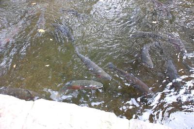 rainbow trout (triploid)