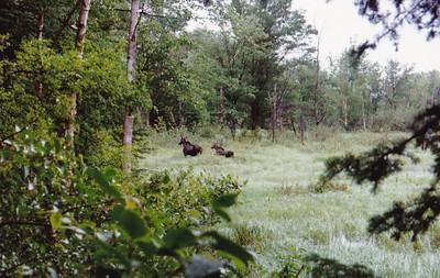 Moose at Zealand Ponds