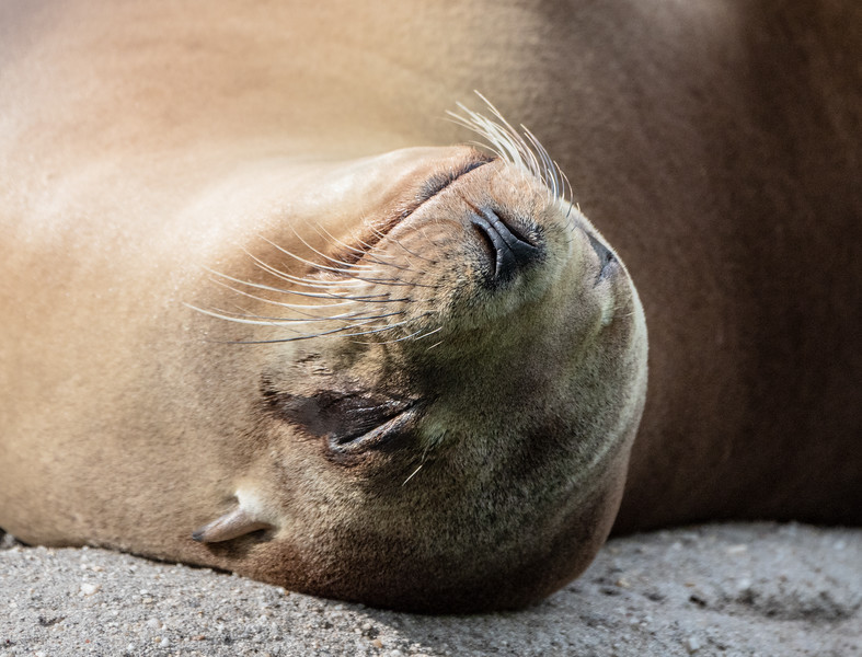 Snoozing sea lion