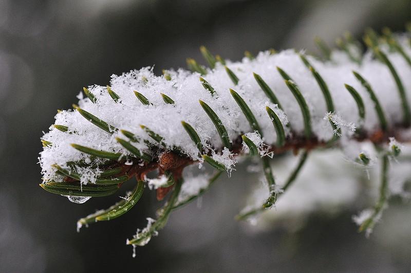 větvička smrku s krystalky sněhu
