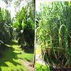 Banana trees and sugar cane!