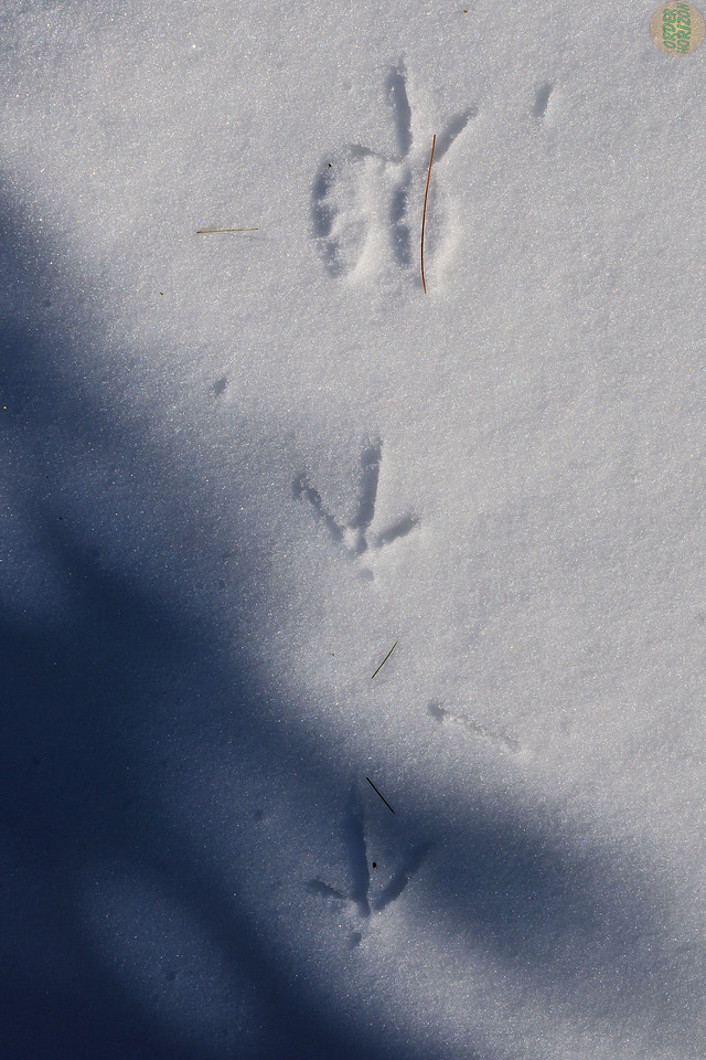 Pheasant tracks in the front yard, near the bird feeder.
