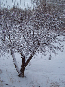 A snowy apple tree in front of the house.