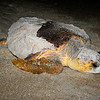 Mother loggerhead takes a breather on her way back home