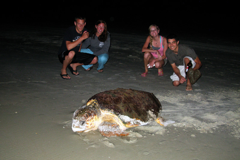 Mother loggerhead turtle returns to the ocean after laying her eggs on the beach at the Canaveral National Seashore as Troy, Amanda, Mariah and Scott look on.