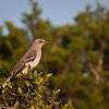 The mockingbird, very protective of its nest.