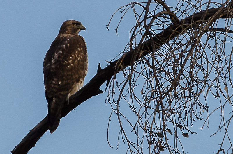 Hawk ina tree near the Pacific Electric Trail