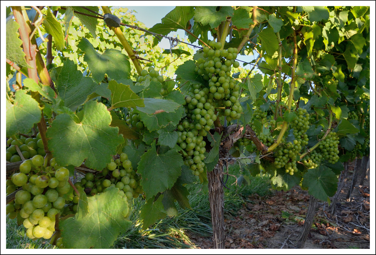 Wine grapes.  They are allowed to freeze, and when they partially thaw, some of the water runs out, leaving more sugar in the juice.  It makes a sweet, flavor intense wine.