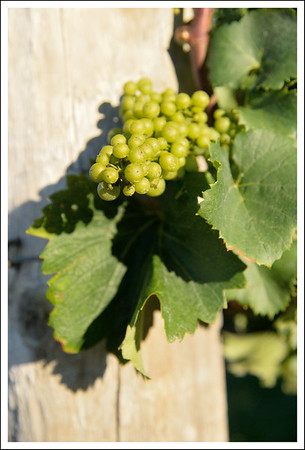 Wine grapes in the vinyard