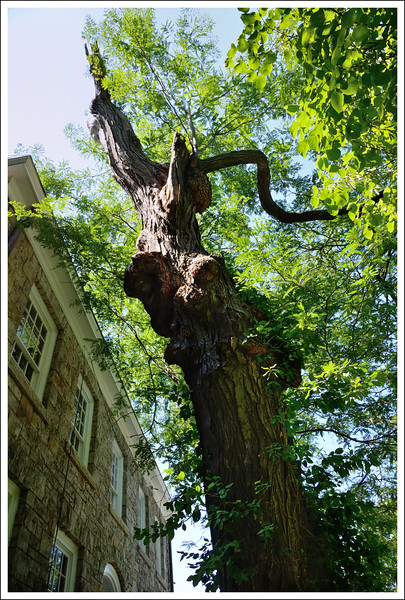 A very old tree in front of the printery museum.