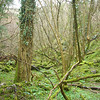 Primeaval forest in Ebbor Gorge