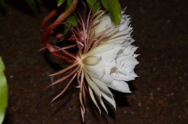 Night Blooming Cereus - 9/5/2015