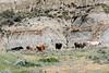 Longhorn Cattle in North Dakota?
