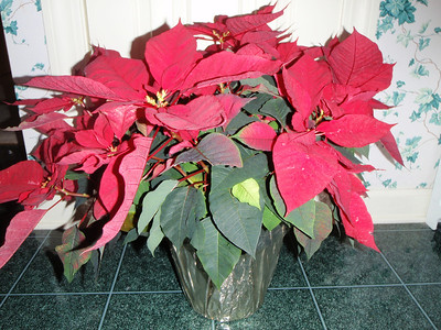 Mom's poinsettia from Lisa'