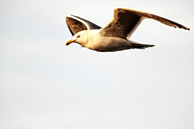 Why do I keep taking pictures of gulls?