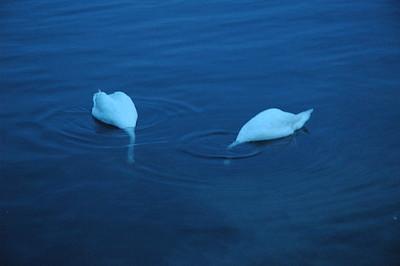 Swans at dusk.