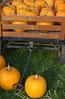 Pumpkins at Harvest Fest