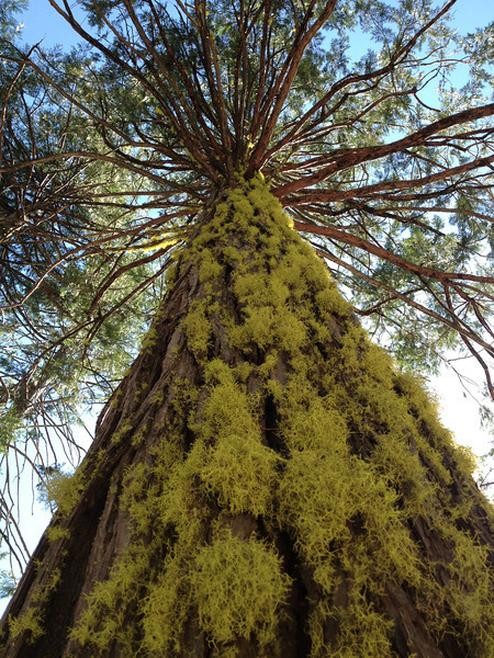 Big conifer.  Nice moss.