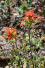 And Indian paintbrushes.