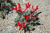 Unable to find this scarlet dazzler in my desert wildflower book, darn it.