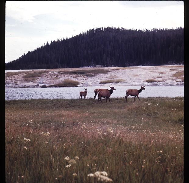 Wildlife in Yellowstone.