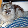 Nellie (original) the Keeshond (1985-2001)