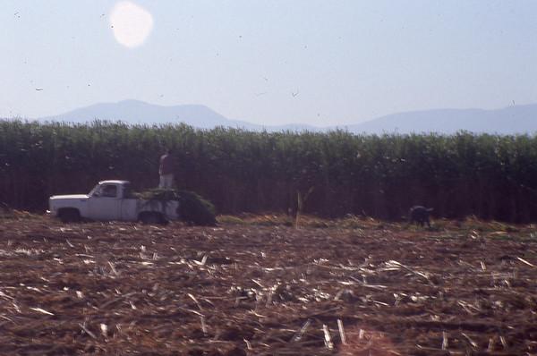 003 Tala Sugar Cane Harvest