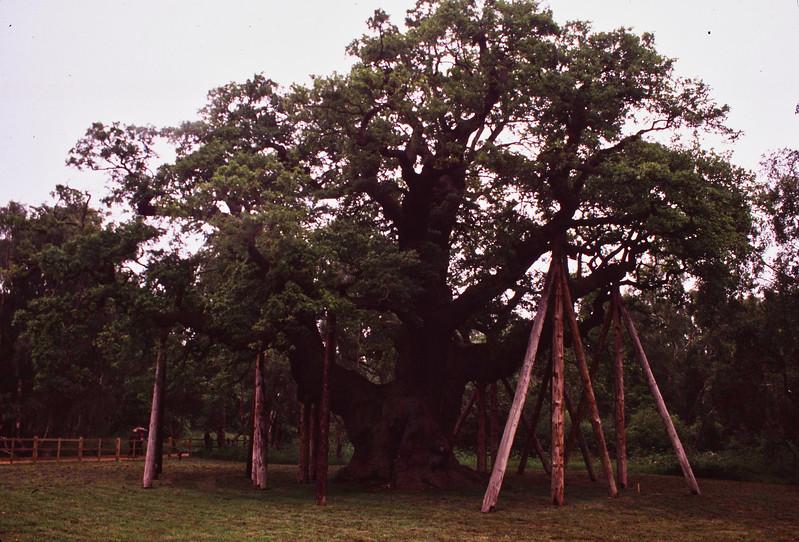 Major Oak - Sherwood Forest 02