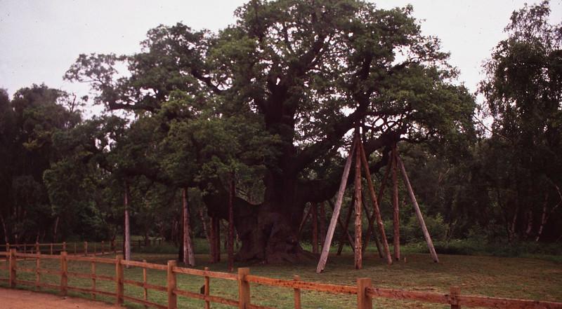 Major Oak - Sherwood Forest 01