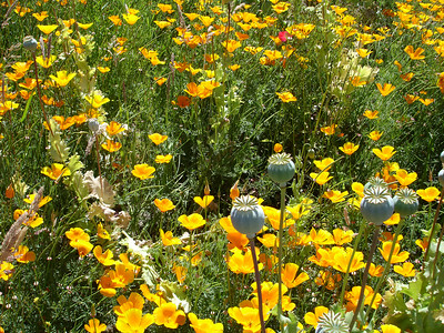 Poppies in the yard