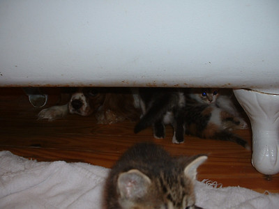 Kittens broke out of their room and are hiding with Auburn under the bathtub.
