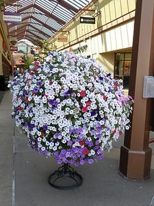 Petunia flower ball