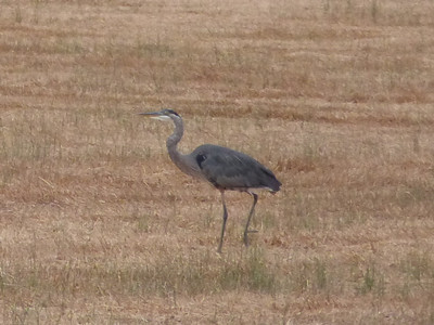 A great blue heron in the grass field across from Mary Ann's old house