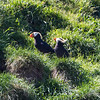 Puffins, Haystack Rock, Cannon Beach, OR