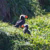 Puffins are building nests on Haystack Rock, Cannon Beach