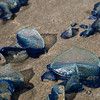 "Millions of Velella  ""Sea Raft"" jelly fish have washed up on the north Oregon Coast"