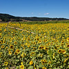 Willamette Valley sunflowers.  So sorry we missed cherry season