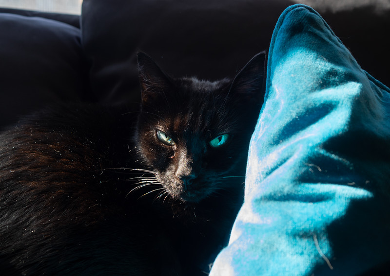 Luna and the blue pillow. #cat #blue #blackcat