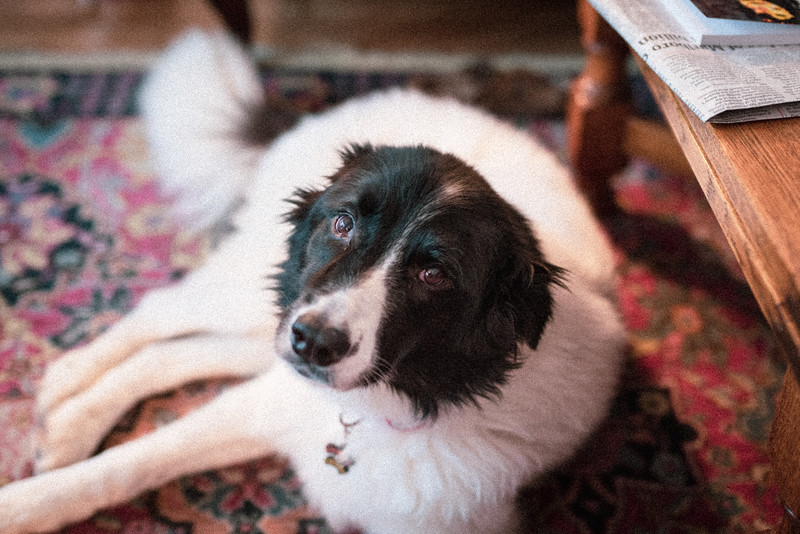 Junie on Christmas day. #bordercollie #fakefilm #pentaxk1