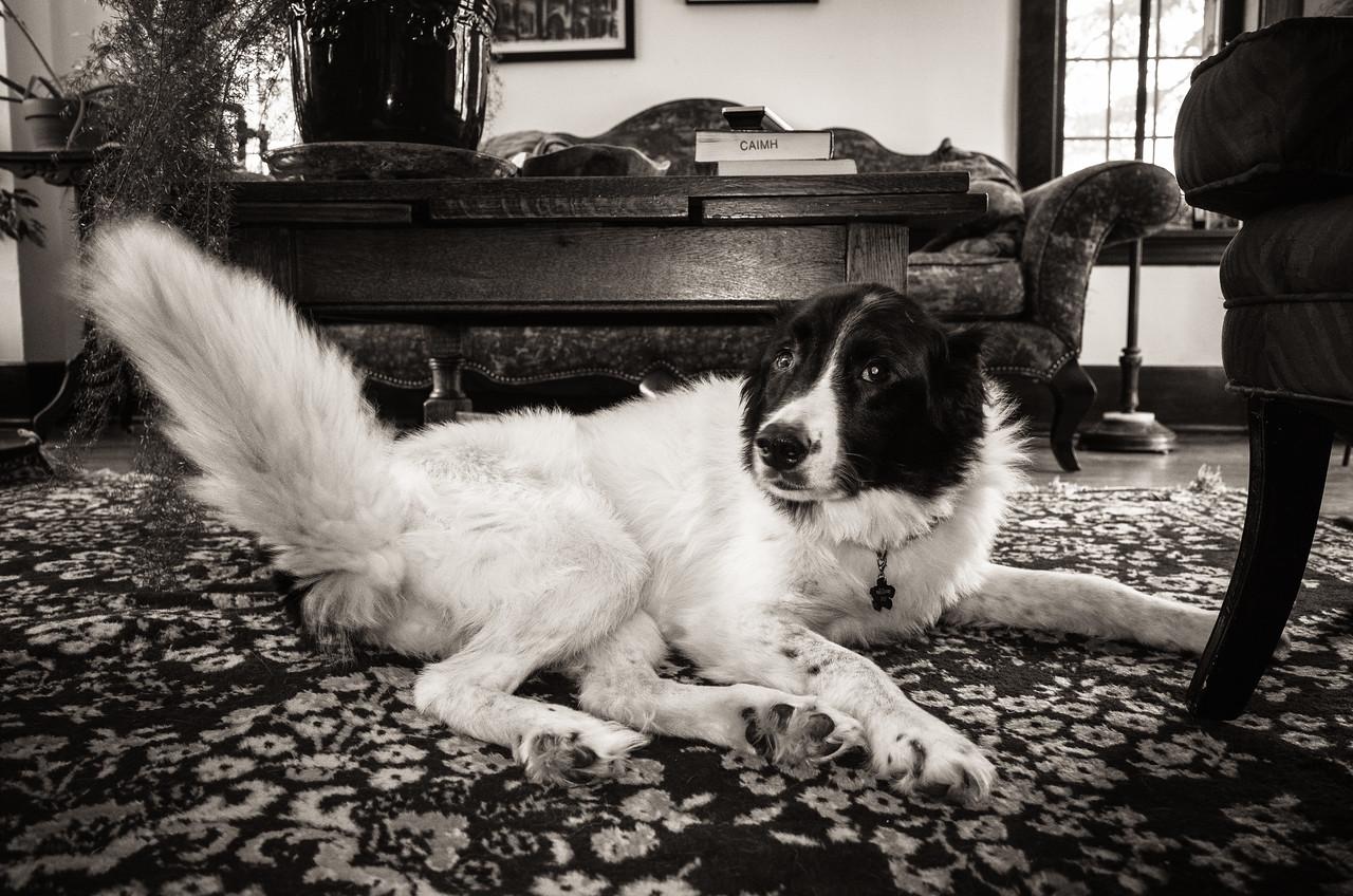 Junie #flash #GRll #monotone #blackandwhite #dog #bordercollie
