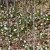 Trillium Blooms