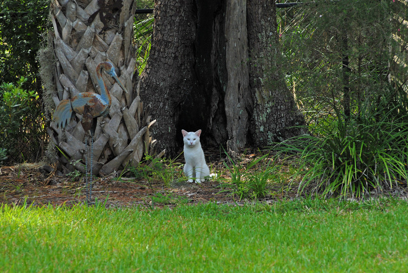 White Lightning, our feral cat checking us out to see if we are a worthy family to be domesticated by. 09-28-12