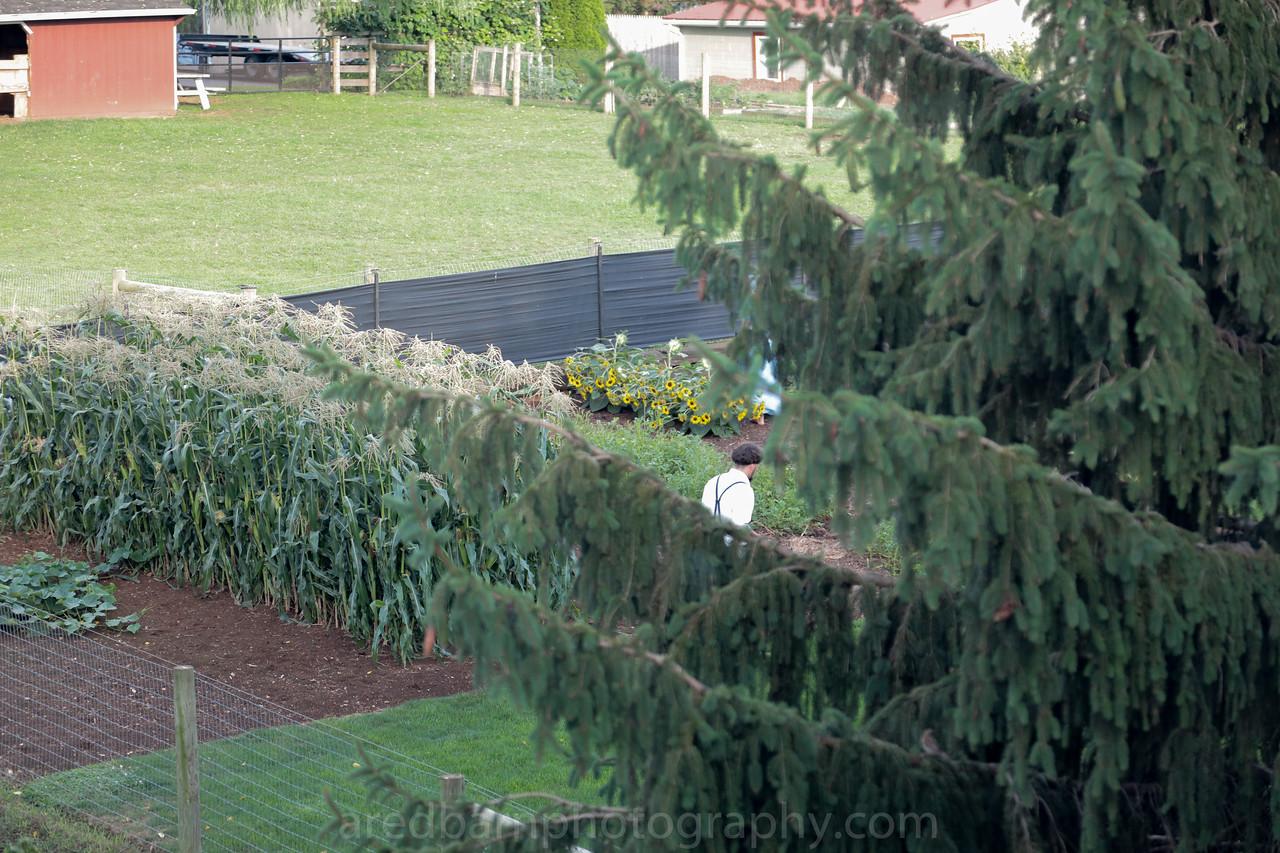 Amish worker ,shining up and cleaning the garden,wonderful.