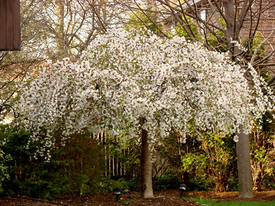 Weeping Cherry tree in the spring
